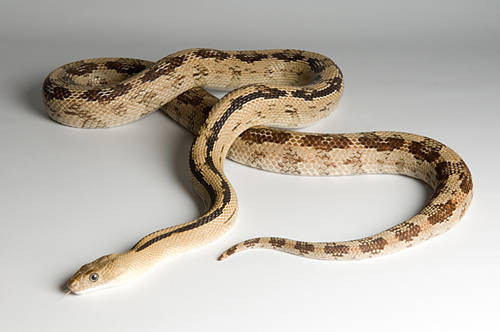 A Trans-Pecos rat snake (Bogertophis subocularis) at the Omaha Zoo.