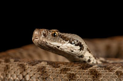 Ocellate mountain viper (Montivipera wagneri) at the St. Louis Zoo.