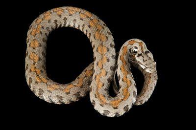 Armenian viper (Montivipera raddei) at the St. Louis Zoo.