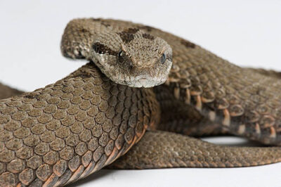 An endangered Hermon Mountain viper (Vipera bornmuelleri) at the St. Louis Zoo.
