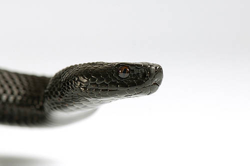 Nikolsky's viper (Vipera nikolskii) at the St. Louis Zoo.