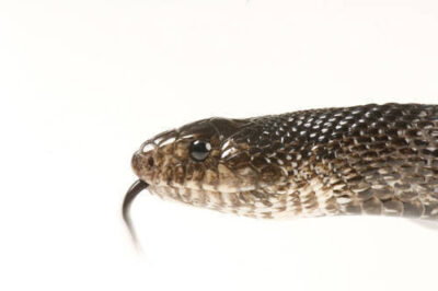 Photo: A black pine snake (Pituophis lodingi)