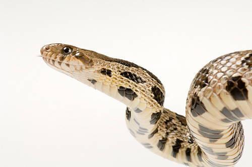 A western fox snake (Elaphe vulpina vulpina).