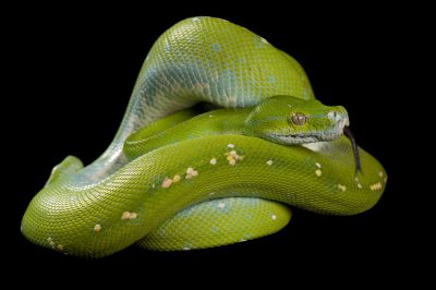 A green tree python (Morelia viridis) at the St. Louis Zoo.