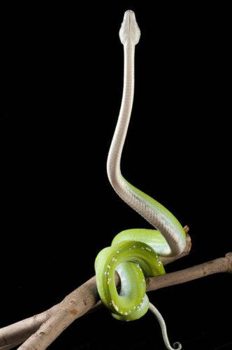 A green tree python (Morelia viridis) at the St. Louis Zoo.
