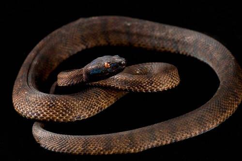 Photo: Tokara habu pit viper (Protobothrops tokarensis) at the Saint Louis Zoo.
