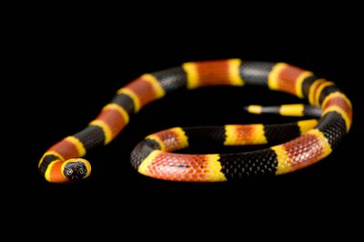 Eastern coral snake (Micrurus fulvius fulvius) at the Riverbanks Zoo.