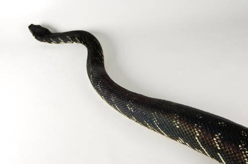 Boelen's python (Morelia boeleni) at the Riverbanks Zoo.