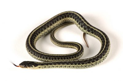 Picture of an Eastern garter snake (Thamnophis sirtalis sirtalis) at the Riverbanks Zoo.