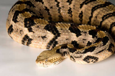 Canebrake rattlesnake (Crotalus horridus atricaudatus) at the Riverbanks Zoo.