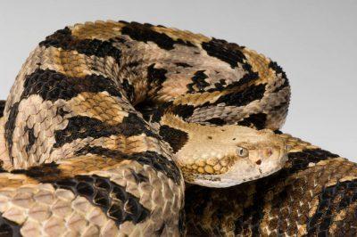 Canebrake rattlesnake (Crotalus horridus atricaudatus) at the Riverbanks Zoo.