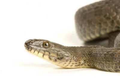 Narrow-headed garter snake (Thamnophis rufipunctatus) at the Phoenix Zoo.