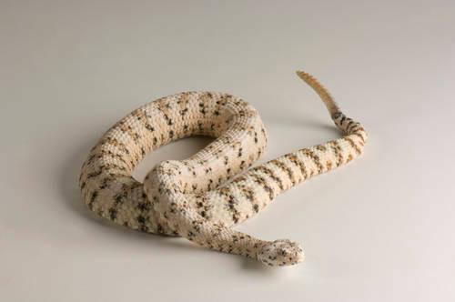 Speckled rattlesnake (Crotalus mitchellii) at the Arizona-Sonora Desert Museum.