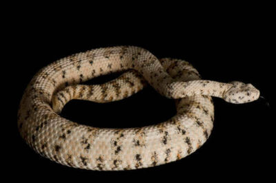 Speckled rattlesnake (Crotalus mitchellii) at the Arizona-Sonora Desert Museum.