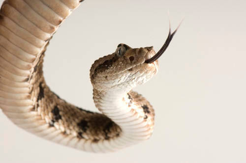 Baja California rattlesnake (Crotalus enyo) a Mexican species found on the Baja Peninsula at the Arizona-Sonora Desert Museum.