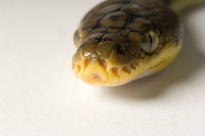 Timor python (Python timoriensis) at the Detroit Zoo.