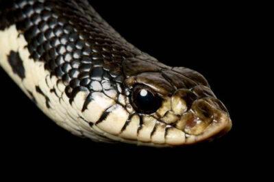 Madagascar giant hognose snake (Leioheterodon madagascariensis) at the Detroit Zoo.