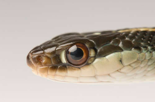 Picture of a ribbon snake (Thamnophis sauritus) at the New York State Zoo in Watertown, NY.