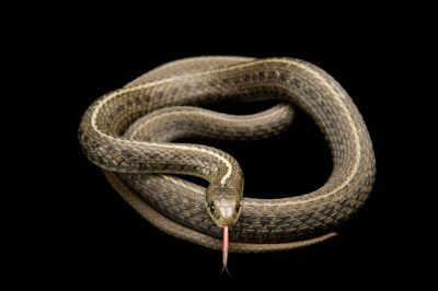 Picture of a northwestern garter snake (Thamnophis sirtalis) at the Oregon Zoo.