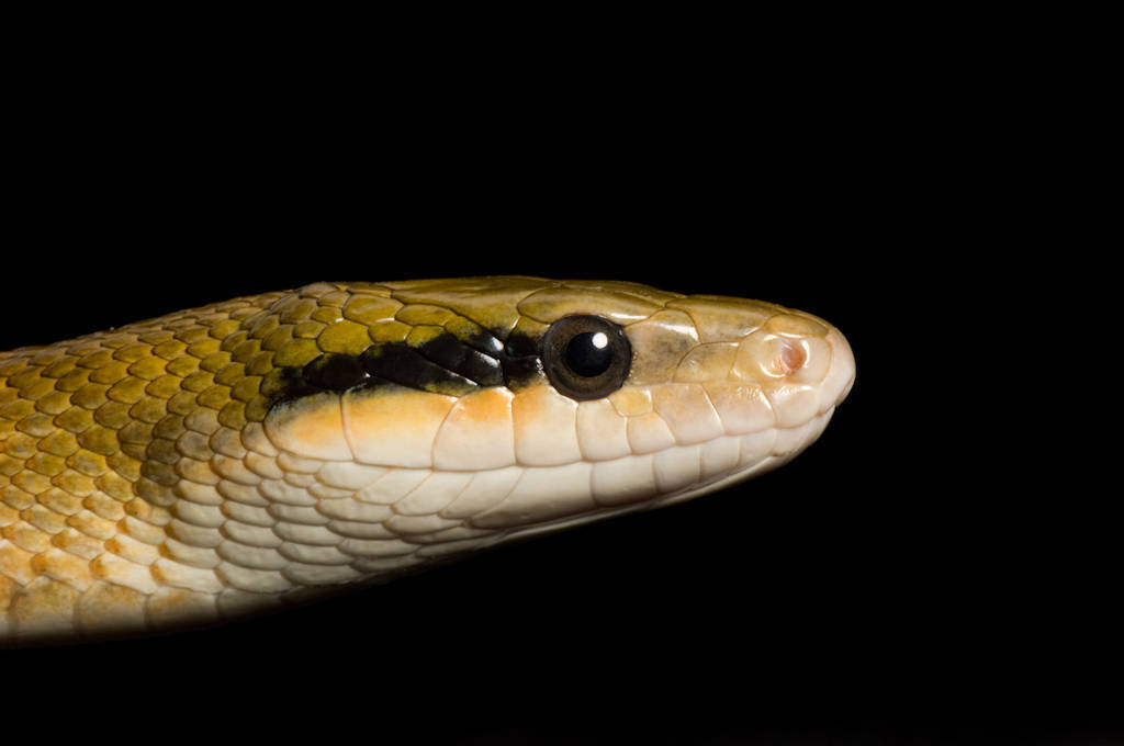 Taiwan beauty snake (Elaphe taeniura friesi) at the Tulsa Zoo.