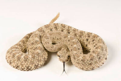 Photo: A sidewinder rattlesnake (Crotalus cerastes) at the Tulsa Zoo.