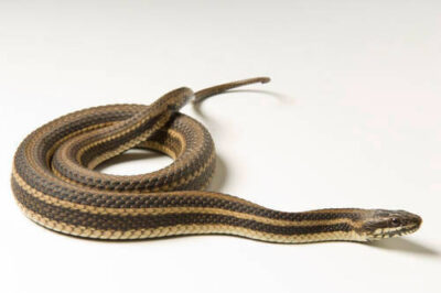 A Gulf marsh snake (Nerodia fasciata clarki) at the Estuarium in Dauphin Island, AL.