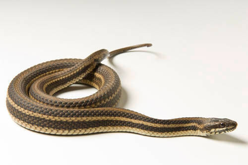 A Gulf marsh snake (Nerodia fasciata clarki) at the Estuarium in Dauphin Island, AL.