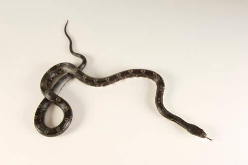 A gray rat snake (Pantherophis obsoleta spiloides)at the Estuarium in Dauphin Island, AL.