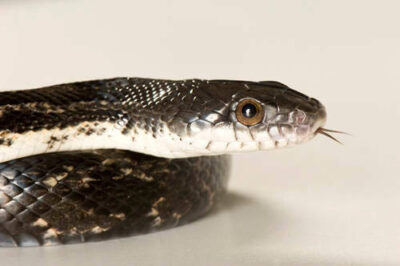 A gray rat snake (Pantherophis obsoleta spiloides)at the Estuarium in Dauphin Island, AL.