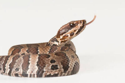 A juvenile Florida cottonmouth (Agkistrodon piscivorus conanti) at the Archbold Biological Station. This animal was collected near Arcadia, Florida, in Dakota County.