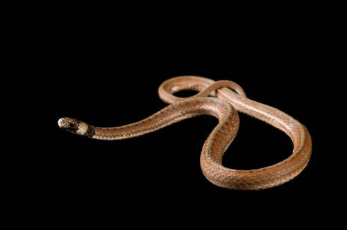 A Florida brown snake (Storeria dekayi victa) at the Archbold Biological Station.