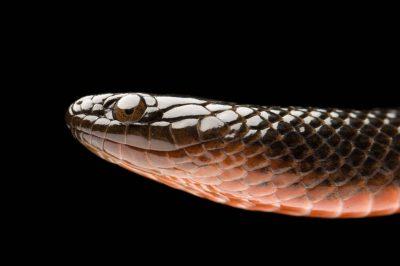 South Florida black swamp snake (Seminatrix pygaea cyclas) at the Archbold Biological Station.