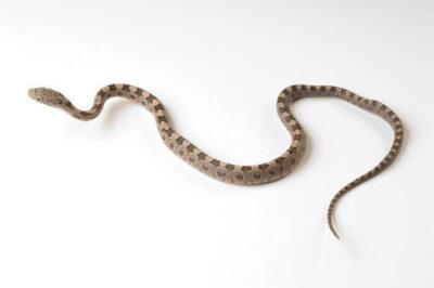 A juvenile red rat snake (Elaphe guttata) at the Archbold Biological Station.