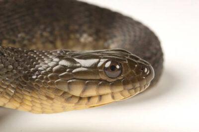 Florida green water snake (Nerodia floridana) at the Archbold Biological Station.