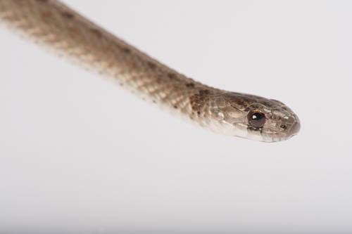 Texas brown snake (Storeria dekayi texana) collected in Sarpy County, NE