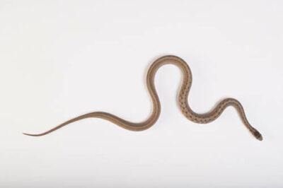 Texas brown snake (Storeria dekayi texana) collected in Sarpy County, NE.