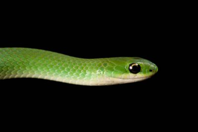 Photo: Smooth green snake (Liochlorophis vernalis) collected in Virginia.