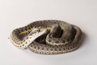 Photo: Terrestrial garter snake (Thamnophis elegans) collected in South Dakota.