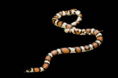 Photo: Pale milk snake (Lampropeltis triangulum multistriata) collected in the Nebraska Sandhills--Thomas County.