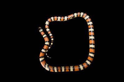 Photo: Pale milk snake (Lampropeltis triangulum multistriata) collected in the Nebraska Sandhills--Thomas County.