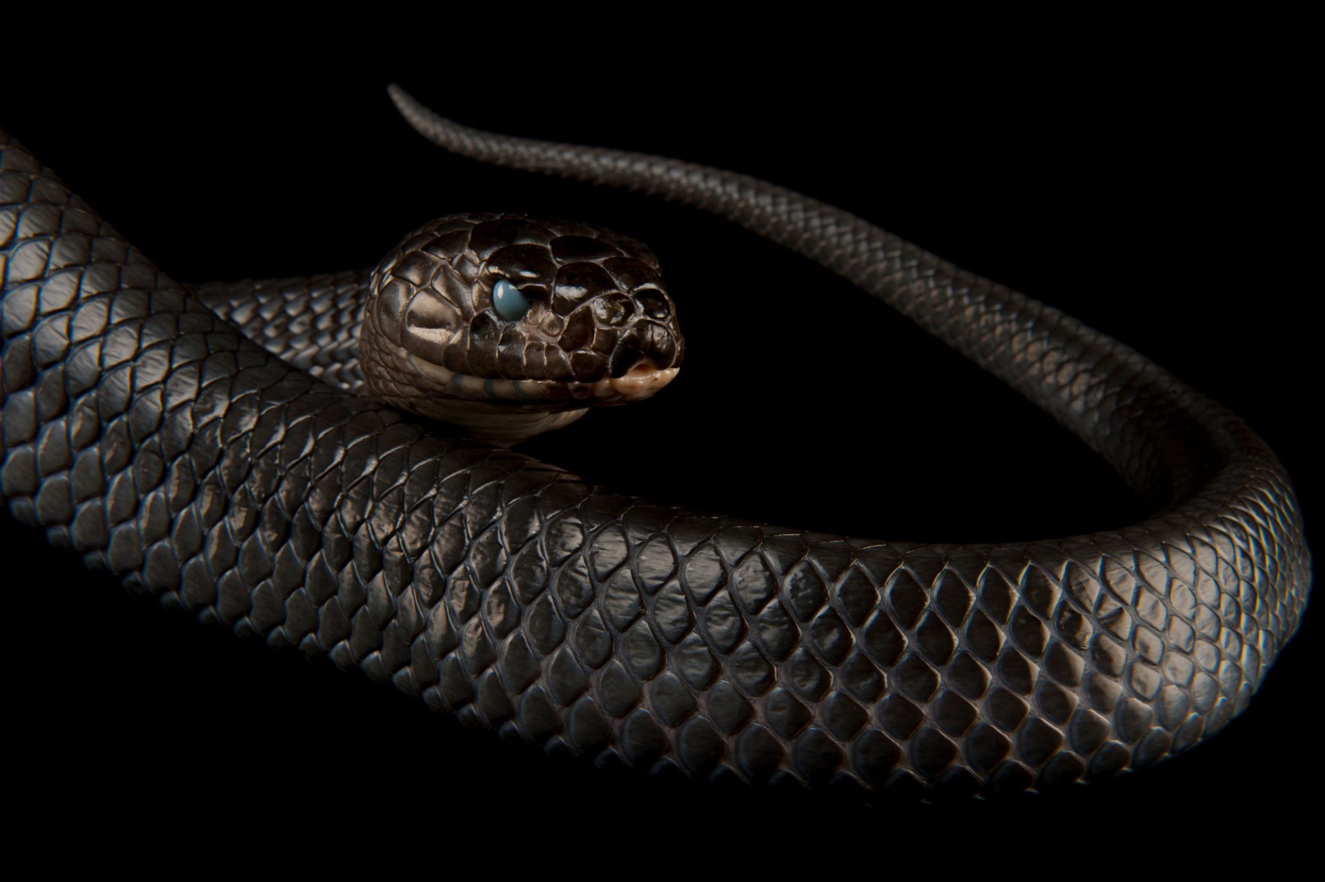 Texas indigo snake (Drymarchon corais erebennus) at the Fort Worth Zoo.