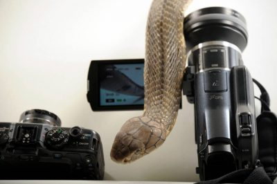 An 11-foot-long king cobra (Ophiophagus hannah) crawls over the top of a video cameras at the Houston Zoo.