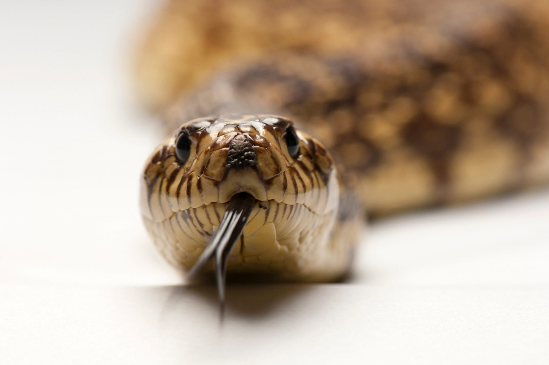 Picture of an endangered Louisiana pine snake, (Pituophis ruthveni) at the Sedgwick County Zoo in Wichita, Kansas.