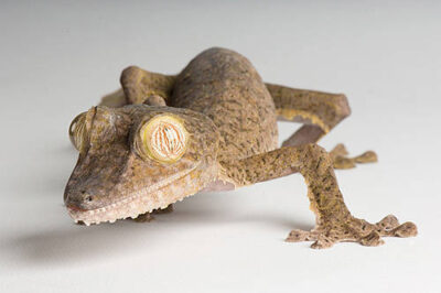 A giant leaf-tail gecko (Uroplatus fimbriatus) at the St. Louis Zoo, St. Louis, Missouri.