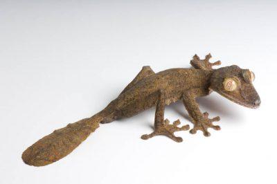 A giant leaf-tail gecko (Uroplatus fimbriatus) at the St. Louis Zoo, St. Louis, Missouri.