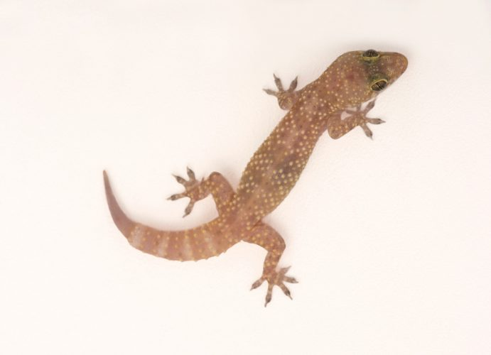 A Mediterranean gecko (Hemidactylus turcicus ) at the Chattanooga Zoo.