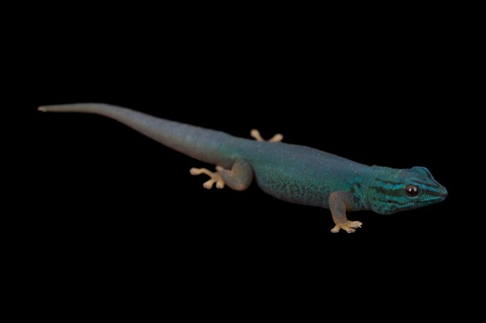 Picture of a critically endangered electric blue gecko (Lygodactylus williamsi) at the Cheyenne Mountain Zoo in Colorado Springs, CO.