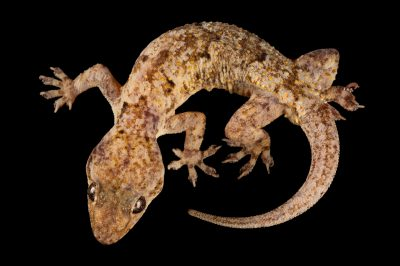 A hosue gecko (Hemidactylus mabouia) collected in Chitengo Camp, in Gorongosa National Park.