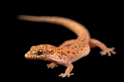 Photo: Ground gecko (Dixonius sp. nov) at the Angkor Centre for Conservation of Biodiversity (ACCB) in Siem Reap, Cambodia.