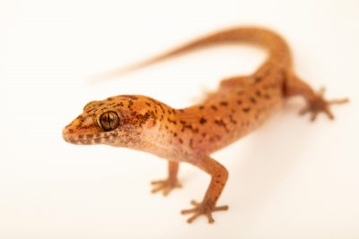 Photo: Ground gecko (Dixonius spec. nov) at the Angkor Centre for Conservation of Biodiversity (ACCB) in Siem Reap, Cambodia.